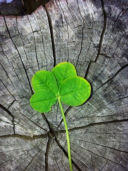 Four leaf clover on wood